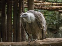Griffon Vulture Photos stock
