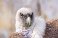 Griffon Vulture Royalty-vrije Stock Foto's