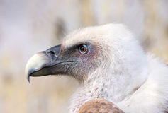 Griffon Vulture Immagine Stock