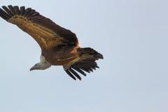 Griffon Vulture Royalty-vrije Stock Afbeeldingen
