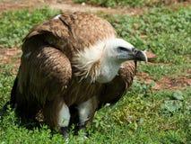 Griffon Vulture Lizenzfreies Stockfoto