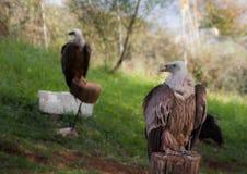 Griffon Vulture Foto de archivo libre de regalías