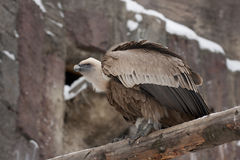 Griffon Vulture Images stock