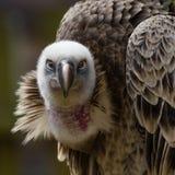 Griffon Vulture Immagine Stock