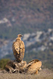 Griffon Vulture lizenzfreie stockfotos