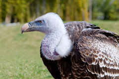 Griffon Vulture Imagens de Stock Royalty Free