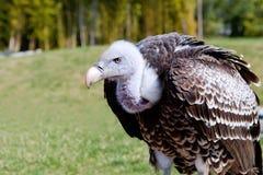 Griffon Vulture Fotografía de archivo