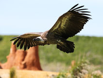 Griffon Vulture Fotografia de Stock Royalty Free