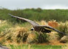 Griffon Vulture Fotografia de Stock