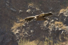 Griffon Vulture. Wild Griffon Vulture in Gamla resrve, Israel Royalty Free Stock Photos