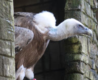 Griffon vulture Royalty Free Stock Photo