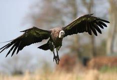 Griffon Vulture Imagem de Stock