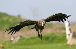 Griffon Vulture Fotos de Stock Royalty Free