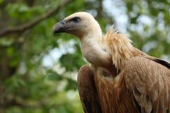 Griffon vulture Stock Photos