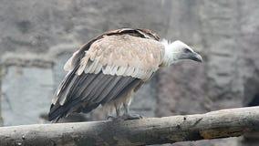 Griffon Vulture metrajes