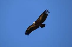 Griffon Vulture Stockfoto