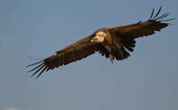 Griffon Vulture approaching Stock Photo