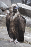 Griffon Vulture. Royalty Free Stock Images
