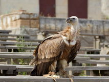 Griffon vulture on the bench Royalty Free Stock Image