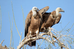 Griffon vulture BIKANER. Like other vultures, it is a scavenger, feeding mostly from carcasses of dead animals which it finds by soaring over open areas, often stock image
