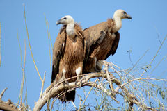 Griffon vulture BIKANER. Like other vultures, it is a scavenger, feeding mostly from carcasses of dead animals which it finds by soaring over open areas, often stock images