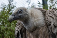Griffon Vulture bird. Griffon Vulture Gyps Fulvus is a large Old World vulture in the bird of prey family Accipitridae stock photo