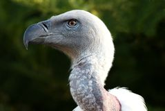 Griffon Vulture Bird Portrait Royalty Free Stock Images