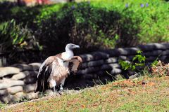 Griffon Vulture, Bird of Prey Royalty Free Stock Images