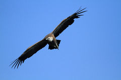 Griffon vulture bird of prey Royalty Free Stock Images