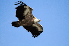 Griffon vulture bird of prey Royalty Free Stock Image
