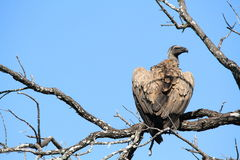 Griffon vulture bird of prey Royalty Free Stock Photo