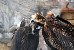 Griffon Vulture birds portrait taken in Moscow zoo. royalty free stock photos