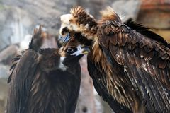 Griffon Vulture birds portrait taken in Moscow zoo. royalty free stock photo