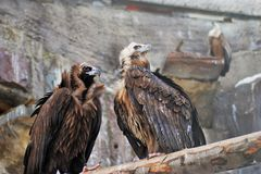 Griffon Vulture birds portrait taken in Moscow zoo. stock photography