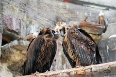 Griffon Vulture birds portrait taken in Moscow zoo. stock images