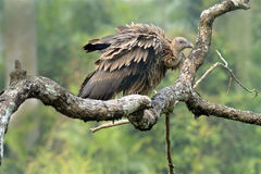 Griffon vulture. Birds- Griffon vulture sitting on tree branch- Scientific name is gyps himalayensis-Accipitridae family- Kaziranga National Park, Assam, India stock photos