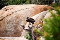 Griffon vulture birds standing on a tree Stock Photography