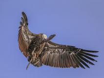 Griffon vulture Royalty Free Stock Image