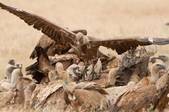 Griffon Vulture on a carcass. Griffon Vulture close-up on a carcass extremadura spain Stock Image