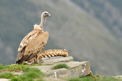 Griffon vulture with carrion Stock Photos