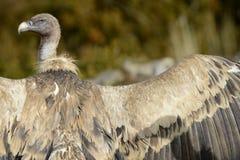 Griffon Vulture che prende il sole Fotografia Stock Libera da Diritti