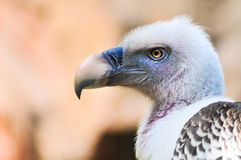 Free Griffon Vulture Closeup Portrait Stock Photo - 41223190