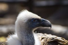 Griffon Vulture Stock Image