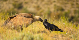 Griffon Vulture and Common Raven Stock Images