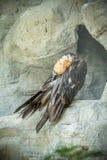 Griffon vulture Royalty Free Stock Photos