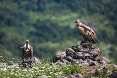 Griffon Vulture in a detailed portrait, standing on a rock overs Stock Photography