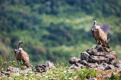 Griffon Vulture in a detailed portrait, standing on a rock overs Royalty Free Stock Photo