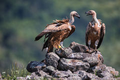 Griffon Vulture in a detailed portrait, standing on a rock overs Stock Image
