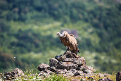 Griffon Vulture in a detailed portrait, standing on a rock overs Stock Photo