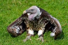 Griffon Vulture di Ruppel che tiene fresco Fotografie Stock